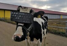 VR headset za krave